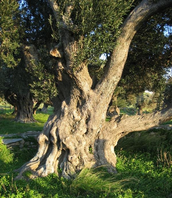 Olive tree Karystos2 res