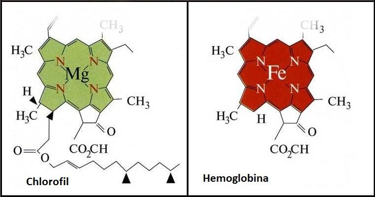 Struktura chlorofilu jest bardzo zbliżona do hemu, barwnika krwi.